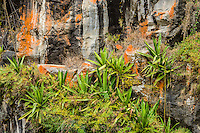 Cabuya [Furcraea cabuya] & vegetation grows on narrow ledges of lichen water stained canyon wall; Volcan area, Panama