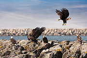 A large group of bald eagles become aggressive while feeding at Neah Bay along the Olympic Peninsula in Washington. Photo by Brandon Alms Photography