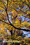 63876-00903 Sugar maple trees in fall    IL