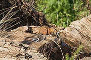 Unstriped Ground Squirrel (Xerus rutilus), Adult foraging for food. Photographed in Samburu National Reserve, Kenya
