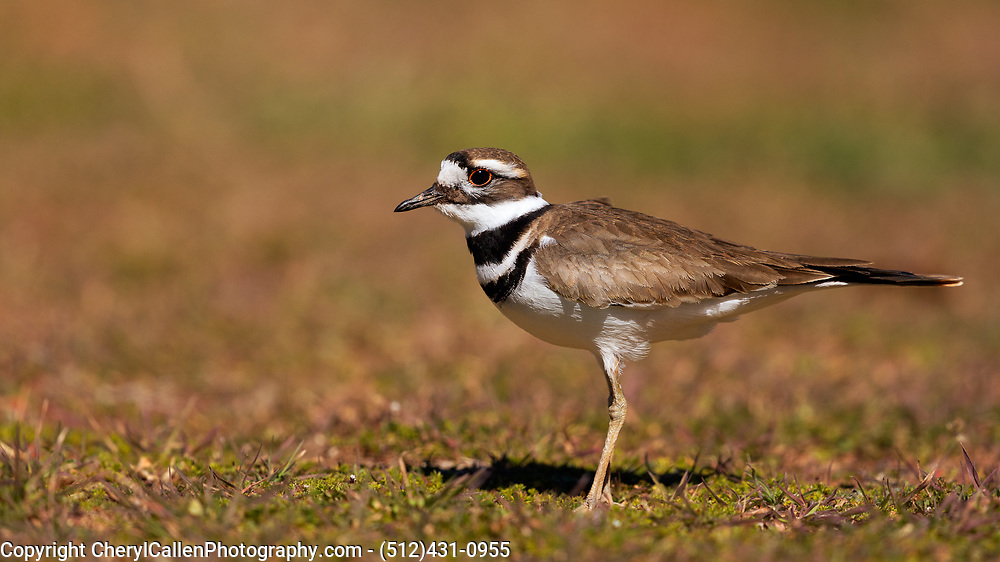 Eye level with a Killdeer