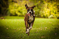 Boxer puppy in mid-stride, ears flapping, tongue wagging