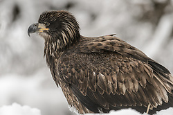 An immature (juvenile) bald eagle (Haliaeetus leucocephalus) rests in the snow along the banks of the Chilkat River in the Alaska Chilkat Bald Eagle Preserve. During late fall, bald eagles congregate along the Chilkat River to feed on salmon. This gathering of bald eagles in the Alaska Chilkat Bald Eagle Preserve is believed to be one of the largest gatherings of bald eagles in the world.