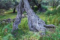 Olive Tree (Olea europea), Kolimvaro, Crete