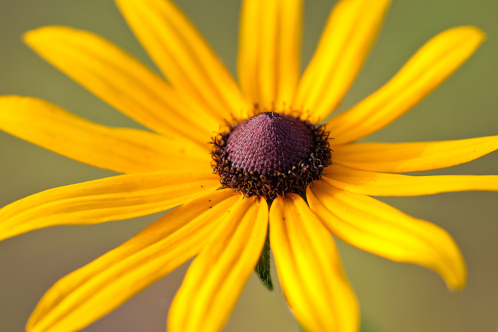 Close-up of a black-eyed susan (Rudbeckia hirta) growing near Mirror Lake, Canaan Valley, Davis, West Virginia.