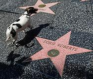 4月19日,在美国洛杉矶,一只小狗从一个放置在好莱坞星光大道桃丽丝&middot;罗伯茨星旁的花环走过。 著名电视剧演员桃丽丝&middot;罗伯茨于当地时间周日去世,离世原因是在睡梦中的自然死亡,享年90岁。桃丽丝&middot;罗伯茨曾在经典情景喜剧《人人都爱雷蒙德》中饰演雷蒙德的母亲一角。新华社发 (赵汉荣摄)<br /> A dog walks past a memorial wreath left on Doris Roberts's star on the Hollywood Walk of Fame in Los Angeles on Tuesday April 19, 2016. Roberts, the five-time Emmy winner best known for playing Ray Romano's overbearing mother on the comedy hit ``Everybody Loves Raymond,&rsquo;&rsquo; died peacefully in her sleep of natural causes in Los Angeles, the United States on Sunday, according to her family. She was 90. (Xinhua/Zhao Hanrong)(Photo by Ringo Chiu/PHOTOFORMULA.com)<br /> <br /> Usage Notes: This content is intended for editorial use only. For other uses, additional clearances may be required.
