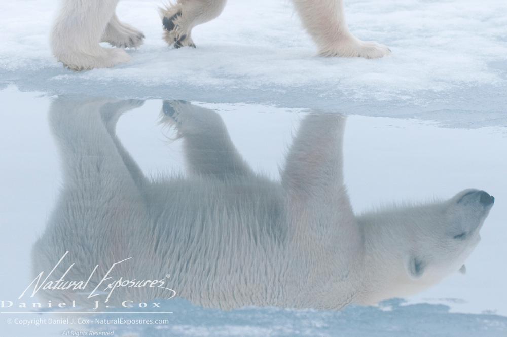 A reflection of a polar bear in the sea ice. Svalbard, Norway