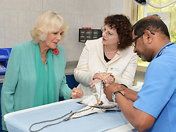 The Duchess of Cornwall watches as a Falcon is sedated while her talons are clipped, at the Abu Dhabi Falcon Hospital, where she studies the work of veterinary staff who treat around 9,000 birds a year for a range of ailments, in the middle eastern country.
