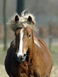Stallion<br /> Meerdonk 2003<br /> © Dirk Caremans