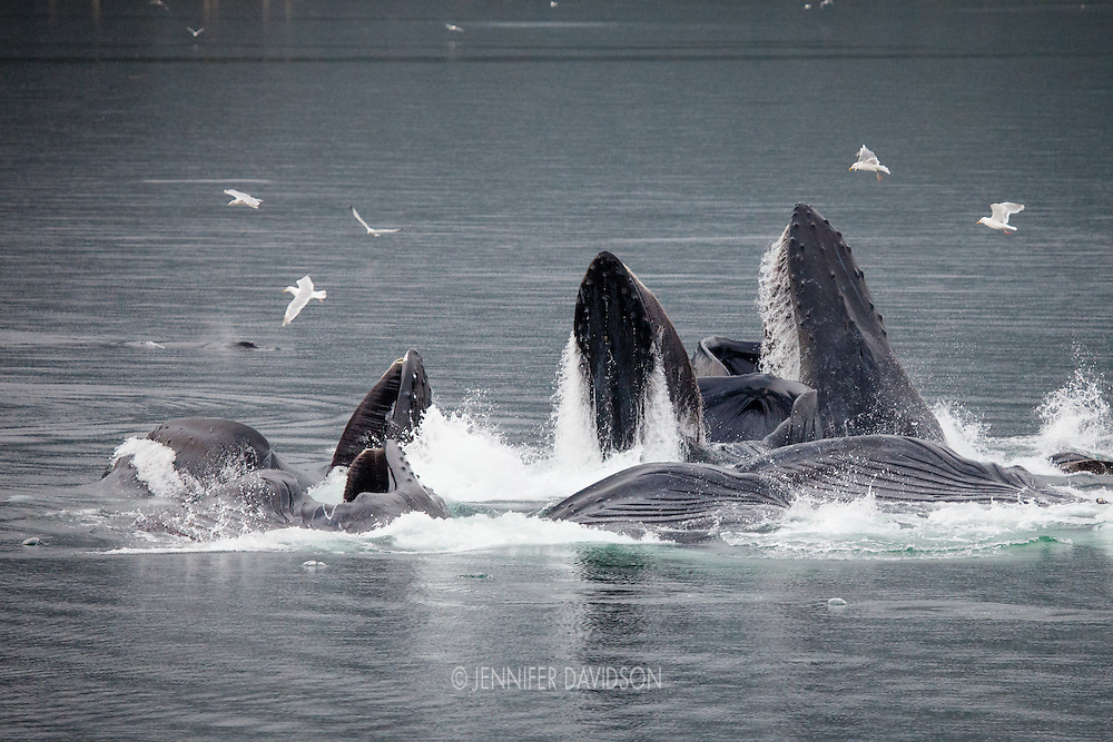 Humpback whales exhibit collective bubble net feeding in Iyoukeen Cove, Alaska.