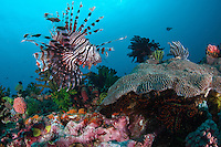Lionfish hovers above the reef..Shot in Indonesia