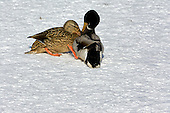 Mallards fighting
