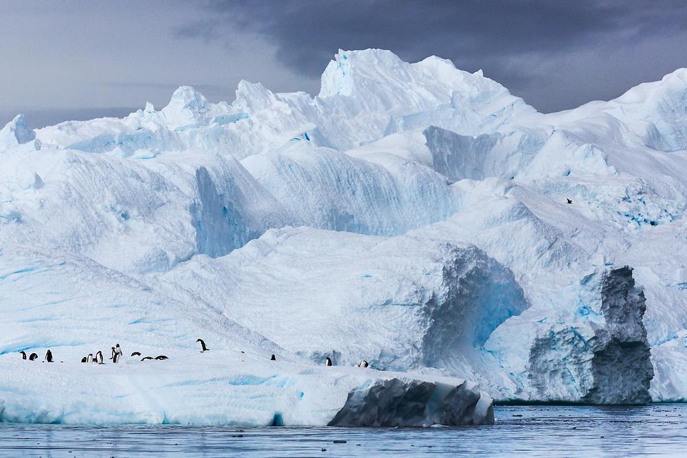 Gentoo Penguins, Cierva Cove, Antarctic Peninsula, Antarctica 2014