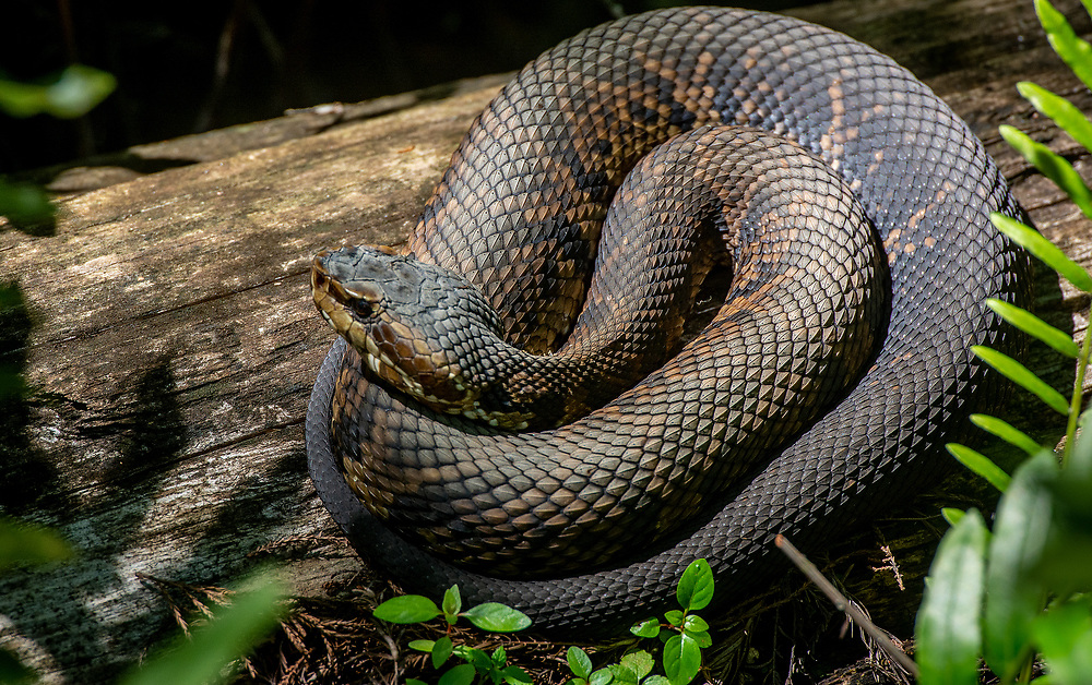 Water Moccasn or Cottonmouth is a venomous snake, a species of pit viper.  The species is endemic to the southeastern United States. As an adult it is large and capable of delivering a painful and potentially fatal bite.