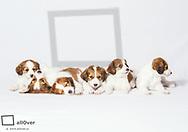 Kooiker Hondje Welpen, 6 Wochen alt