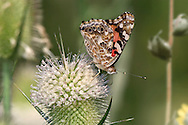 Butterfly On A Flower, American Painted Lady, Vanessa virginiensis