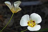 Mariposa Lily / Calochortus leichtlinii