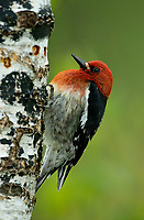 Red-breasted Sapsucker (Sphyrapicus ruber) drilling taps on a birch tree, Courtenay, Vancouver Island, Canada