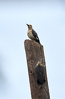 Golden-fronted Woodpecker (Melanerpes aurifrons) on a post San Juan Cosala, Jalisco, Mexico