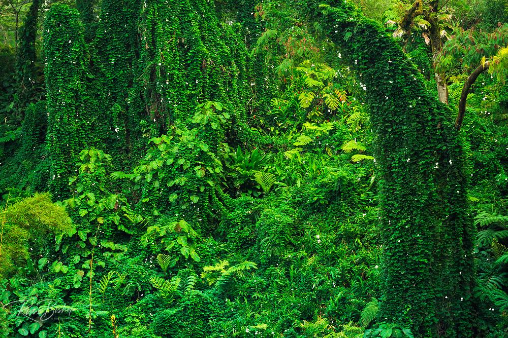 Lush overgrown jungle, Akaka Falls State Park, The Big Island, Hawaii USA