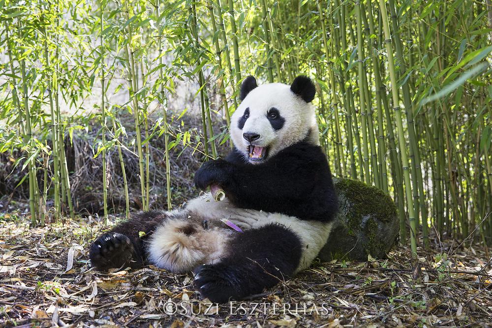 Giant Panda<br /> Ailuropoda melanoleuca<br /> Shenshuping Panda Base, Wolong Nature Reserve, China<br /> *captive