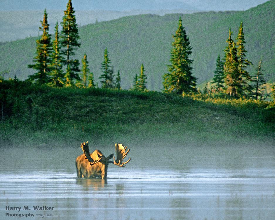 Bull moose (Alces alces gigas) eating pond weeds in Wonder Lake at sunrise; Denali National Park Alaska