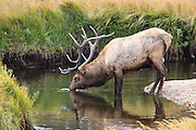 Rocky Mountain bull elk standing in mountain stream