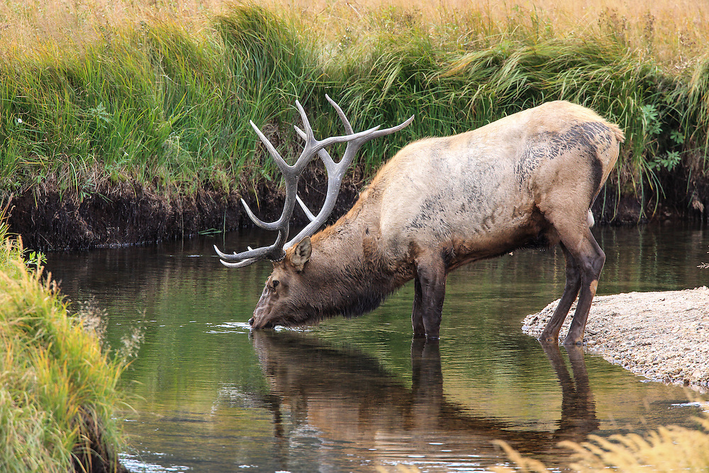 Rocky Mountain bull elk standing in mountain stream