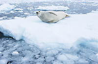 Fur Seal lying on ice flow