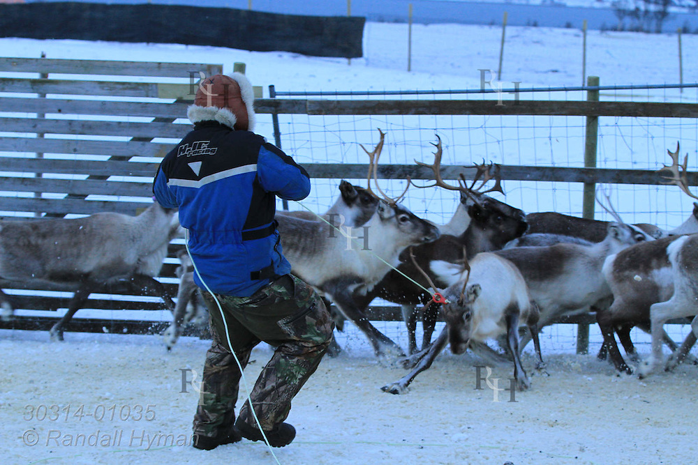 Sami herder, Nils Ole Oskal, lassos reindeer for ear tagging; Tromso, Norway.