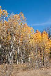 """Aspens at Klondike Meadow 5"" - These yellow aspen trees were photographed in the fall at Klondike Meadow near Truckee, California."