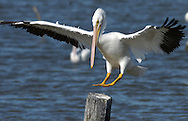KEVIN BARTRAM/The Daily News.A pelican lands on a piling near the Texas City Dike on a sunny afternoon on Monday, December 20, 2004.