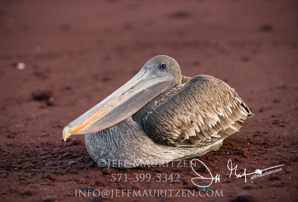 A Brown pelican rests on the red sand beach of Rabida island in the Galapagos.