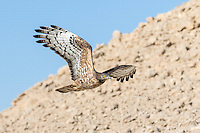 Single Honey Buzzard Pernis apivorus flying against rocky terrain of Eilat Mountains on migration, Israel