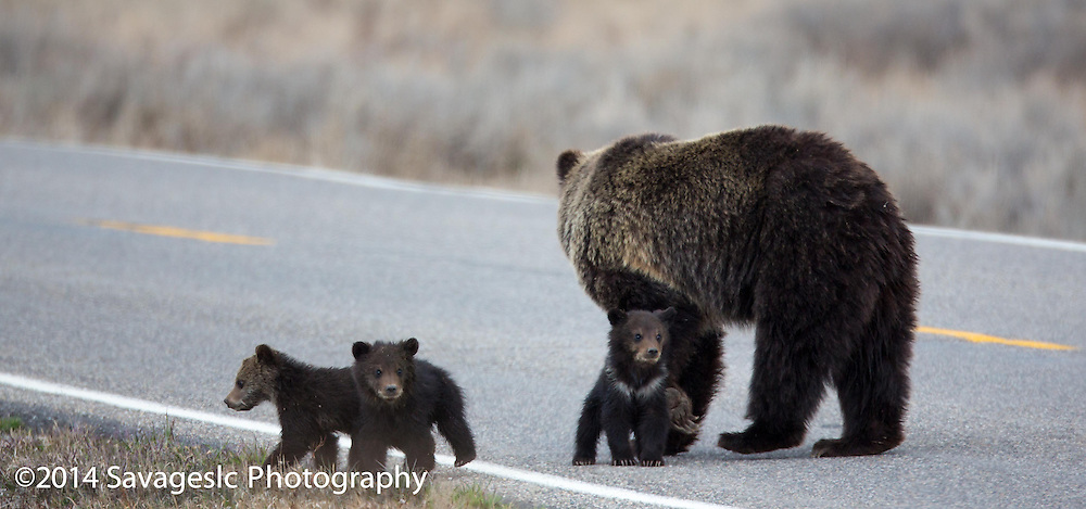 Grizzly bear Quadmom crossing the road with her three cubs of the year.