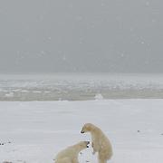 Polar bears play-fighting, Churchill, Manitoba, Canada