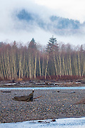 About a dozen bald eagles (Haliaeetus leucocephalus) rest on logs or in trees along the Nooksack River near Deming, Washington.