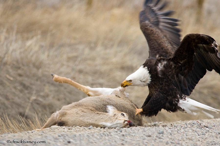 Mature Bald Eagle Feeds on Fresh Whitetail Deer Kill Along Road Near Belgrade Montana