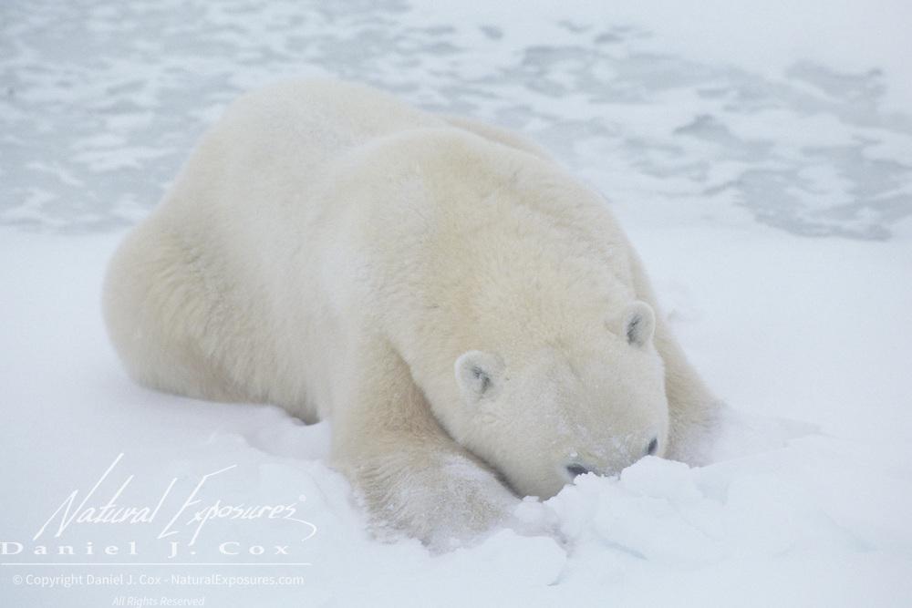 Polar Bear (Ursus maritimus) sub-adult resting on frozen Hudson Bay, Churchill, Manitoba, Canada.