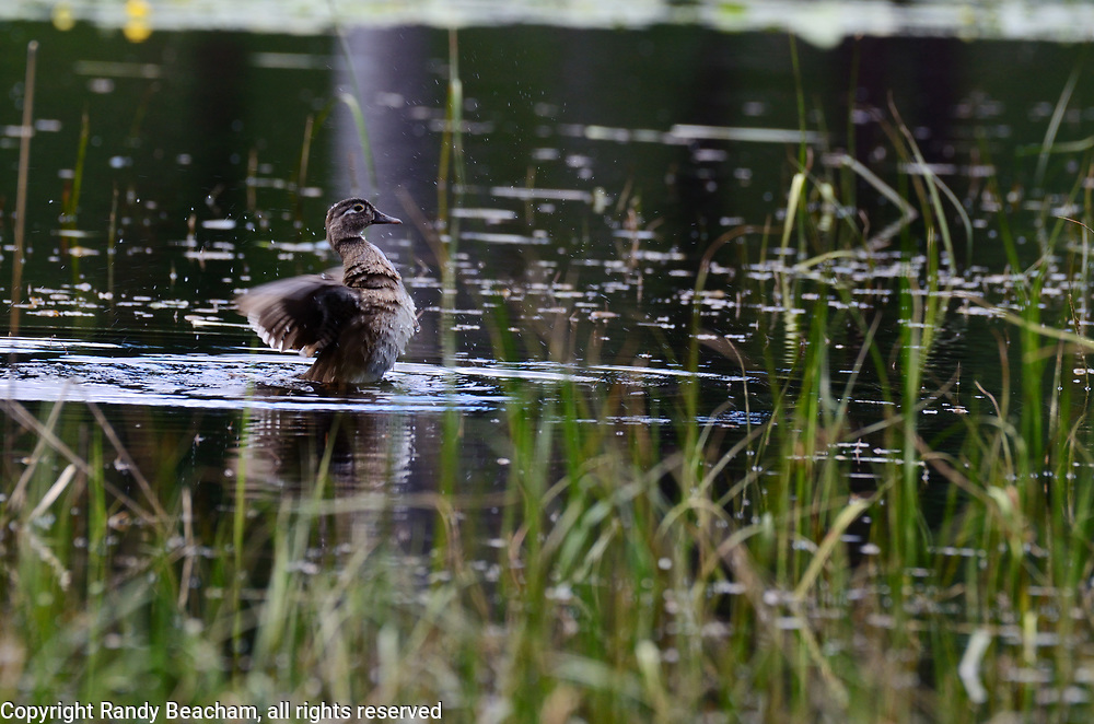 A female wood duck on a pond near the Yaak River in late spring. Yaak Valley in the Purcell Mountains, northwest Montana.