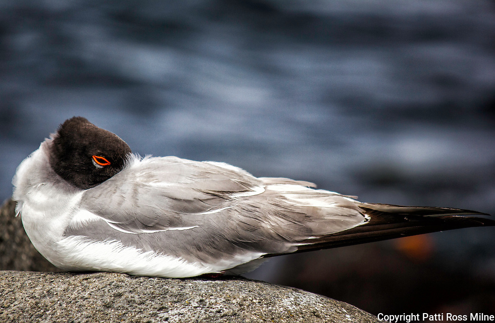 A Lava Gull sleeping in the Galapagos Islands.