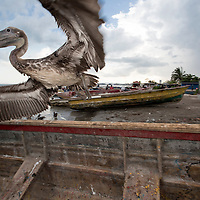 A pelican takes flight from a boat in Old Harbour Bay, Jamaica