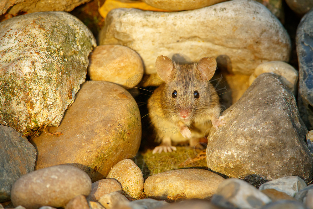 House Mouse (Mus musculus) adult foraging in stone pile, South Norfolk, UK. August.