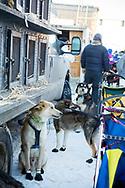 Voulos, Nixon och Avalanche har sockor på och är redo för den ceremoniella starten av 2017 Iditarod, Anchorage, Alaska, USA