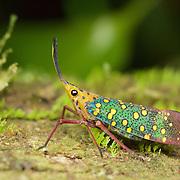Wild Saiva gemmata (Westwood, 1848) yellow-spot blue-lanternfly or lantern bug. In Kaeng Krachan National Park, Thailand.