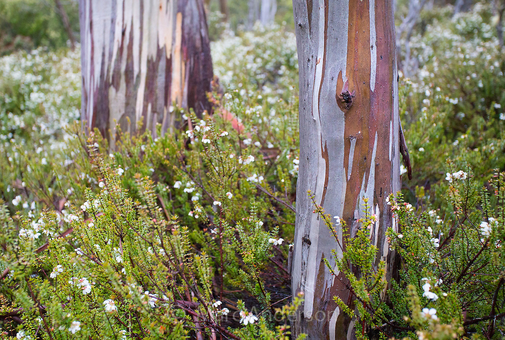 Bark patterns on a Snow Gum (Eucalyptus pauciflora), Mount Field National Park, Tasmania, Australia