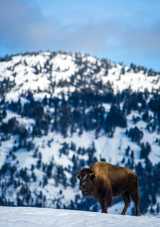 American bison (Bison bison) standing on hill side with mountains in backaground during winter in Yellowstone National Park