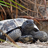 Gopher Tortoise in front of its sandy burrow, Ft Myers Beach, Florida