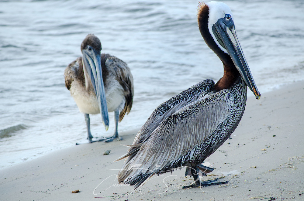Two brown pelicans stand on the beach near the Bayou La Batre State Docks June 17, 2013. (Photo by Carmen K. Sisson/Cloudybright)