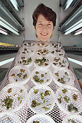 Genetically engineered tomato plants. Geneticist Dr. Virginia Ursin examines cultures of Flavr Savr tomato plants; the first genetically engineered whole food. Each dish contains seedlings cultured from a single cell, grown on agarose medium. Flavr Savr tomatoes have a gene that allows the fruit to ripen on the vine without softening; so they are tastier, don't need ripening with ethylene gas, and are not damaged during shipping. Tomato softening occurs due to the enzyme polygalacturonase. Flavr Savr tomatoes contain an anti-sense gene that blocks the enzyme. This tomato entered American supermarkets in 1994 but was withdrawn from the marketplace by Monsanto (which bought Calgene in 1997). Research at Calgene, California, USA. MODEL RELEASED [1995]